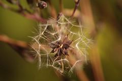 Natural Geometry (8933) (cfalguiere) Tags: seeds datepub2017q206 bokeh graines plante geometric nature macro sel20170625 sel20170701 sel20170709 sel20170716