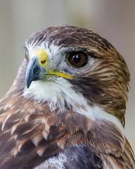 Captive Injured Hawk - Portrait (dbking2162) Tags: birds bird birdofprey hawk nature nationalgeographic wildlife eyes animal ohio