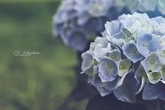 lovely ❤️ (D.Sinkute) Tags: hydrangea hortenzija gėlė mėlyna blue grass žolė žalia gamta nature žiedas blossom blooming žydėjimas vasara summer birželis juni fotografija naturephotography gražu miela beautiful norway norge dreamy svajingas hobby meadow pieva blå
