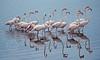 DSC_9328 (Sassaker2010) Tags: capetown southafrica flamingo woodbridgeisland milnerton