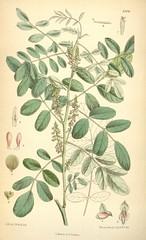Anglų lietuvių žodynas. Žodis indigofera anil reiškia <li>indigofera anil</li> lietuviškai.