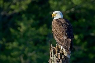 Lake Eagle (r)
