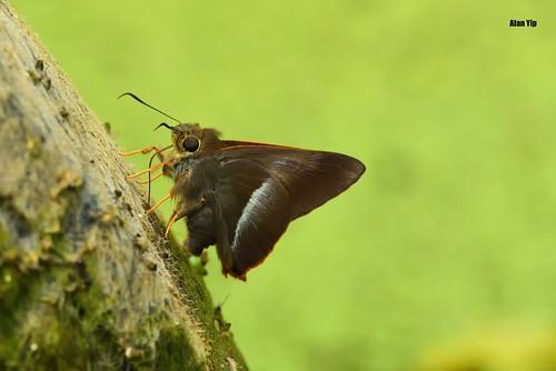 Orangetail Awl 钩纹伞弄蝶
