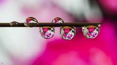 Pink Macro (YᗩSᗰIᘉᗴ HᗴᘉS +6 500 000 thx❀) Tags: drop drops droplet droplets 7dwf macro flower art hensyasmine