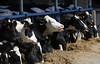 pawu021 (Otwarte Klatki) Tags: krowa krowy mleko zwierzęta cielak ferma andrzej skowron