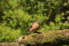 Chaffinch (Pauline Ann) Tags: chaffinch watersmeet exmoor