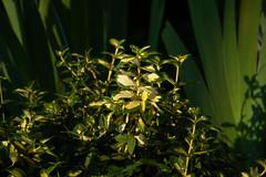 P5192374 (Paul Henegan) Tags: 32crop earlymorninglight garden highlights leaves shadows spring