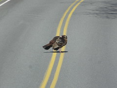 Turkey Hanging Out On The Yellow Line (amyboemig) Tags: wild turkey sunning road yellowline