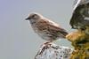 Dunnock (Shane Jones) Tags: dunnock bird gardenbird wildlife nature nikon d500 200400vr tc14eii