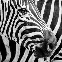 Z (Kevin Lloyd) Tags: 1x1 chimelongzoo china guangdong guangzhou panasonic panasoniclumixdmclx7 bw blackwhite captivity closeup equine eye face mono monochrome muzzle portrait square squareformat striped stripes stripey zebra zoo guangzhoushi guangdongsheng