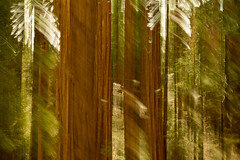 GRANT GROVE (Deborah Hughes Photography) Tags: grantgrove sequoianationalpark kingscanyonnationalpark california trees sequoiatrees icm intentionalcameramovement incameraeffects impressionist impressionistphotography abstractnature abstracts multipleexposures