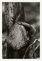 Serie:Angelica (R. Drozda) Tags: fairbanks alaska home garden angelicalucida bw umbelliferae botanical drozda