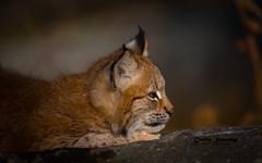 4 months old eurasian lynx (CecilieSonstebyPhotography) Tags: autumn portrait eurasianlynx lynx closeup cat canon fall animal norway markiii gaupe langedrag canon5dmarkiii 4monthsold catfamily october bokeh specanimal ngc bravo