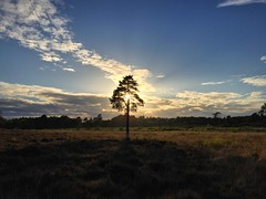 Lone Tree At Sunset (Marc Sayce) Tags: lone tree pine sundown sunset woolmer ranges forest conford whitehill longmoor south downs national park hampshire may spring 2017