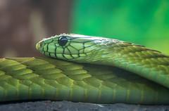 self slithering (Pejasar) Tags: normanpublicschools fieldtrip oklahomacityzoo may riversclass 2017 snake reptile venomous green indonesianislandtreeviper poison