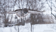 Hunting (Raymond J Barlow) Tags: owl quebec wildlife travel workshop raymondbarlow raptor greatgreyowl adventure