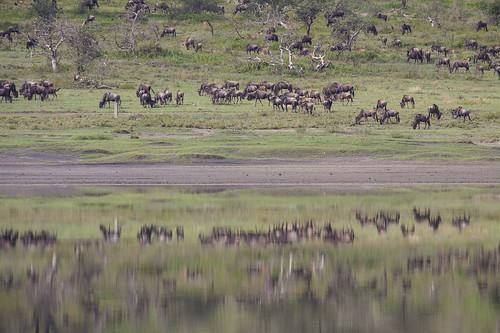 Wildebeest Grazing , reflected in Lake _4868