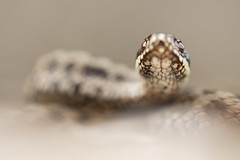 Adder (Daniel Trim) Tags: vipera berus common european adder