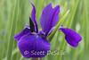 Iris-2 (Scott DeSelle) Tags: iris flower canon eos7dmarkii canonef100mmf28lisusm acratech reallyrightstuff rrs