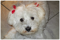 meet Marcy mini maltese (@Katerina Log) Tags: dog pet animal indoor 28100mm dscrx100v110 28100mmf1849 sony katerinalog portrait maltese ribbons