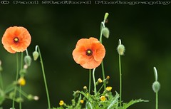 Poppy (STAFF.PAUL) Tags: poppy arrowvalley redditch worcestershire outside thisphotorocks nature flower red canon canon7d canonl100400