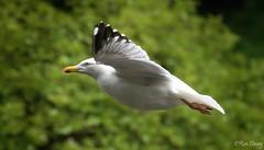 Herring Gull in flight. (ronalddavey80) Tags: herring gull flight