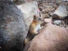 141 (littlespring2012) Tags: goldenmantledgroundsquirrel bendoregon