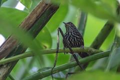 Stripe-breasted Wren (J.B. Churchill) Tags: birds costarica heredia laselvaotsreserve places sibw stripebreastedwren taxonomy wrens cr laselva