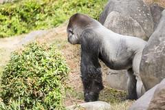 2017-06-05-10h27m29.BL7R6822 (A.J. Haverkamp) Tags: bokito canonef100400mmf4556lisiiusmlens rotterdam zuidholland netherlands zoo dierentuin blijdorp diergaardeblijdorp httpwwwdiergaardeblijdorpnl gorilla westelijkelaaglandgorilla dob14031996 pobberlingermany nl