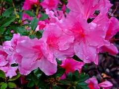 Raindrops On The Azaleas ....      Explored #44 (~ Cindy~) Tags: azaleas spring 2017 may tennessee rockwood smileonsaturday waterdroplets explored page front 44