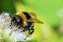 Busy Bee (crezzy1976) Tags: nikon d3300 crezzy1976 photographybyneilcresswell cheshire ellesmereport nature wildlife insect bee pollen pollinator outdoors closeup macro nikkor40mm