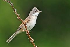 Common Whitethroat. Male. (Sylvia communis). (Spenature 2.) Tags: walthamabbey