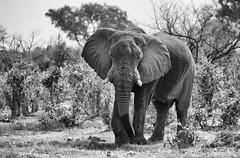 The Lonesome Bull (AnyMotion) Tags: africanelephant afrikanischerelefant loxodontaafricana old alt 2008 botswana anymotion africa afrika animal animals tiere nature reisen travel wildlife khwairiver moremigamereserve bw blackandwhite sw ngc npc