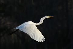 Great Egret (Mark Schwall) Tags: greategret ardeaalba bird wadingbird flight birdinflight nikon markschwallphotographycom cattusisland newjersey nj oceancounty