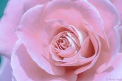 🌹 (martinap.1) Tags: rose flower blüte blossom nikond3300 nikon40mmmacro blume nature natur rosa macro makro 7dwf
