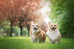 Ognisia&Dolar (Cyntia Zygmuntowicz) Tags: welshcorgipembroke corgi cogs family mom son happy grass trees park green