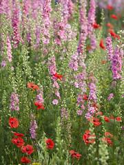 Mélange des genres ** (Titole) Tags: poppies red pink delphinium titole nicolefaton dauphinelles piedsdalouette