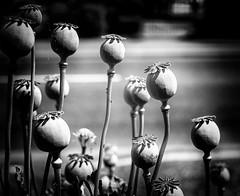 poppy stems b&w (keith ellwood) Tags: tonal black white monochrome nature flower seeds pods stems poppy