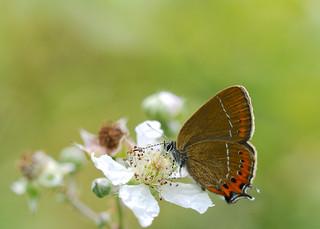 Black Hairstreak DSC_1012