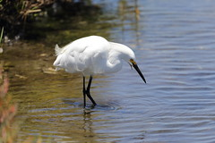 1DX10800 View Large. Snowy Egret. Bolsa Chica, Huntington Beach California (E.W. Smit Wildlife) Tags: aquaticbird wildanimals tourist tourists telephotolens unitedstatesofamerica usa outdoor outdoors bird birds ocean pacificocean animal avian animals socal southerncalifornia canon nature ef300mmf28lisusm14x snowyegret wildlife bolsachica bolsachicaecologicalreserve bolsachicahuntingtonbeachcalifornia huntingtonbeach huntingtonbeachcalifornia orangecounty oc wetlands lake 1dx eos1dx canon1dx canoneos1dx ef500mmf4lisusm ef500mmf4lis ef500mmf4lis14x ef500mmf4lisusm14x canonef500mmf4lis canonef500mmf4lisusm canonef500mmf4lis14x canonef500mmf4lisusm14x egret water