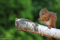 Young squirrel enjoying breadcrumbs (K. Haagestad) Tags: squirrel animal branch outdoors garden
