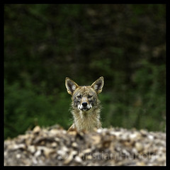 if looks could kill (Christian Hunold) Tags: easterncoyote femalecoyote canislatrans coyote canid wilddog dog kojote coywolf valleyforge pennsylvania christianhunold