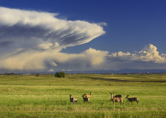 Deers (3dRabbit) Tags: deer animal denver co colorado usa outdoor nature clouds storm stare