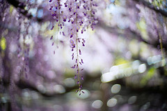 Pure Bliss (moaan) Tags: shisou hyogo japan jp flower flowering flora wisteria above fromabove bloom inbloom light sunlight bokeh bokehphotography dof depthoffield leica mp leicamp type240 noctilux 50mm f10 leicanoctilux50mmf10
