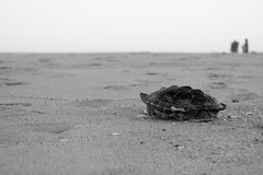 Turtle (NickBouton802) Tags: beach nikon nikonusa new nature sun sunset texture turtle sand delaware bethany bw black white fence volleyball shed shells ocean water warm vacation macrophotography macro helicoptor fly flying