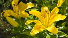 Lilia (Nieogolony) Tags: przemysław karpiński nieogolony nikon d5100 flickr kwiat kwiaty flower słońce sun polska polacy ogród garden działka natura macro plant outdoor roślina
