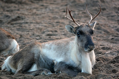 Reindeer (Truus & Zoo) Tags: artis zoo amsterdam netherlands nederland animals dierentuin rendier rangifertarandus reindeer