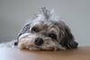 relaxed dog (uhu's pics) Tags: doggy xp2 xpro xpro2 fuji fujifilm fujinon 90mm bolonka zwetna hund dog haustier relaxed eyes tier