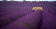 Lavande (freuddy) Tags: lavande lavanda valensole provence nature landscape paysage paca fleur violet france fields beautiful summer
