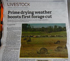 Published in the Manitoba Co-operator - June 15, 2017 (Jeannette Greaves) Tags: 2017 jspubpic forage cut mariapolis area dm bales holstein cows